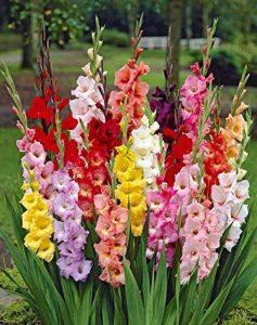 50 Glaïeuls à grandes fleurs en mélange de la marque Willemse France image 0 produit