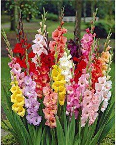 50 Glaïeuls à grandes fleurs en mélangeEXTRA de la marque Willemse France image 0 produit