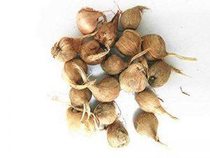 bulbe crocus TOP 9 image 0 produit