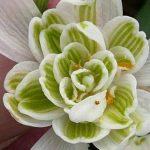 Cottage Garden Bulbs Lot de 50bulbes de perce-neiges à fleur double de la marque Cottage Garden image 1 produit