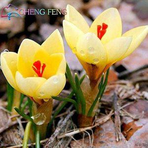 Crocus semences Plantes en pot Fleurs Balcon Plantes 100 graines Garden Chinese Medicine Herb Bulbes à fleurs semences Bonsai Pot SeedsAndPlants cadeaux de la marque SVI image 0 produit