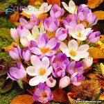 Crocus semences Plantes en pot Fleurs Balcon Plantes 100 graines Garden Chinese Medicine Herb Bulbes à fleurs semences Bonsai Pot SeedsAndPlants cadeaux de la marque SVI image 3 produit