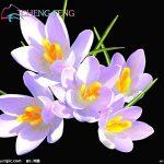 Crocus semences Plantes en pot Fleurs Balcon Plantes 100 graines Garden Chinese Medicine Herb Bulbes à fleurs semences Bonsai Pot SeedsAndPlants cadeaux de la marque SVI image 2 produit