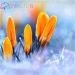 Crocus semences Plantes en pot Fleurs Balcon Plantes 100 graines Garden Chinese Medicine Herb Bulbes à fleurs semences Bonsai Pot SeedsAndPlants cadeaux de la marque SVI image 4 produit