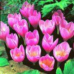 Crocus semences Plantes en pot Fleurs Balcon Plantes 100 graines Garden Chinese Medicine Herb Bulbes à fleurs semences Bonsai Pot SeedsAndPlants cadeaux de la marque SVI image 1 produit