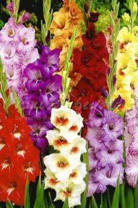 Glaïeuls Mélange - 100 Bulbes de Glaïeuls à Grande Fleurs - Livraison Gratuite de la marque Bulbs & beyond image 0 produit