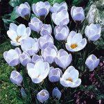 Les vrais bulbes de crocus safran, iran safran, (semences non safran), bulbes de fleurs, Happy Joy Fleurs, bonsaï plantes en pot pour la maison jardin-2bulbs de la marque SVI image 2 produit