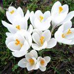 Les vrais bulbes de safran crocus, le safran iran, (pas de graines de safran), bulbes de fleurs, Happy Joy Fleurs, plantes en pot bonsaï pour la maison jardin-2bulbs 8 de la marque SVI image 3 produit