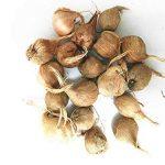 Les vrais bulbes de safran crocus, le safran iran, (pas de graines de safran), bulbes de fleurs, Happy Joy Fleurs, plantes en pot bonsaï pour la maison jardin-2bulbs 8 de la marque SVI image 1 produit
