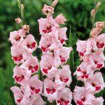 Lot de 100 bulbes de fleurs de couleurs mixtes pour décoration de jardin et patio de la marque DStubbs Sales image 2 produit