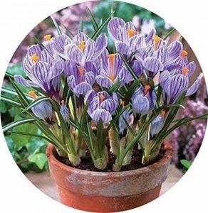 Safran Ampoules, Pays-Bas Crocus sativus Fleur Plante Rare Bonsai Fleur Floraison Plantes Bulbes frais (il est pas de graines) -2 Ampoules de la marque SVI image 0 produit
