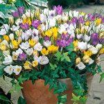 Safran Ampoules, Pays-Bas Crocus sativus Fleur Plante Rare Bonsai Fleur Floraison Plantes Bulbes frais (il est pas de graines) -2 Ampoules de la marque SVI image 1 produit