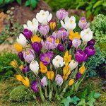 Safran Ampoules, Pays-Bas Crocus sativus Fleur Plante Rare Bonsai Fleur Floraison Plantes Bulbes frais (il est pas de graines) -2 Ampoules de la marque SVI image 3 produit