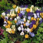 Safran Ampoules, Pays-Bas Crocus sativus Fleur Plante Rare Bonsai Fleur Floraison Plantes Bulbes frais (il est pas de graines) -2 Ampoules de la marque SVI image 4 produit