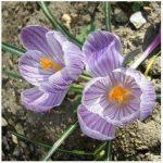 un pcs bulbes de safran de fleurs, bulbes de safran Crocus, ce sont les bulbes de safran (Pas d'semences de fleurs) pour fleur plante de jardin de la maison de la marque SVI image 1 produit