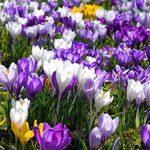 un pcs bulbes de safran de fleurs, bulbes de safran Crocus, ce sont les bulbes de safran (Pas d'semences de fleurs) pour fleur plante de jardin de la maison de la marque SVI image 3 produit