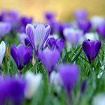 un pcs bulbes de safran de fleurs, bulbes de safran Crocus, ce sont les bulbes de safran (Pas d'semences de fleurs) pour fleur plante de jardin de la maison de la marque SVI image 4 produit