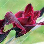 ZLKING 1 Pcs 15 sortes de bulbes chinois glaïeul Fleur glaïeul Pas Graines frais Haute Germination Prix Facile à cultiver Orchid Bonsai 11 de la marque SVI image 3 produit